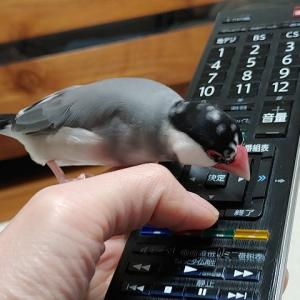 文鳥、リモコンを操る