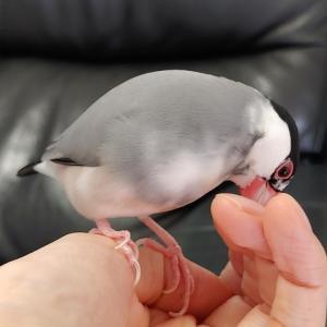 文鳥、爪が大好き!