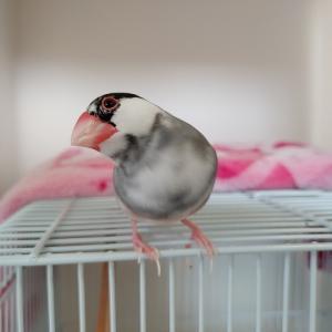 文鳥のモーニングルーティーン動画を公開
