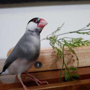 文鳥、赤アワを残す
