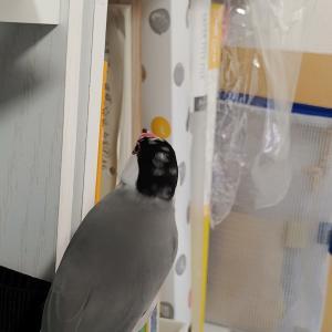 文鳥、手作りフェースシールドが邪魔で入れず困る