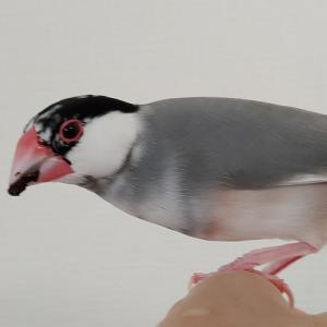 文鳥が海苔を食べるとこうなります(笑)