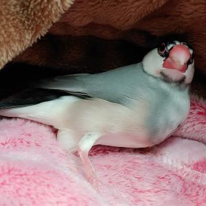 文鳥、私のお腹の上で卵を産む