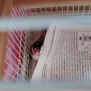 文鳥、新聞紙のお布団でおやすみからの卵!