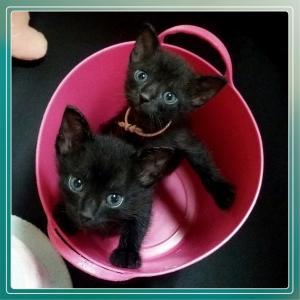 可愛い黒猫の赤ちゃんきょうだい(過去の預かり猫回想シリーズ)
