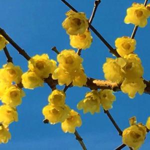 ロウバイの花咲く頃♪