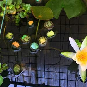 温帯スイレンの初開花♪