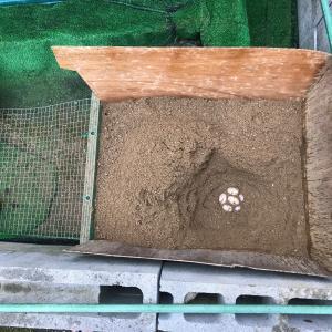 11日朝に亀助も産卵しました