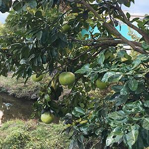 晩白柚。。。