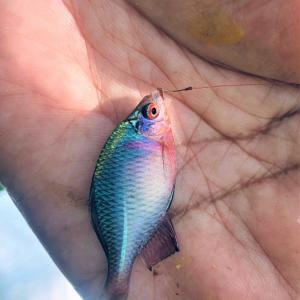 タナゴ釣りへ