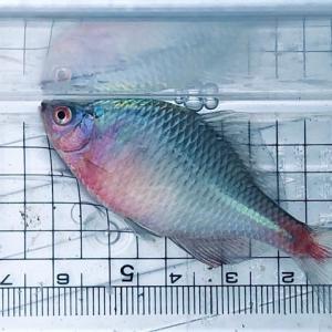 予定変更でタナゴ釣り。