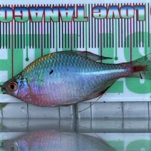 1年ぶり タナゴ釣り