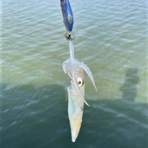 6月中旬 マメイカ釣り