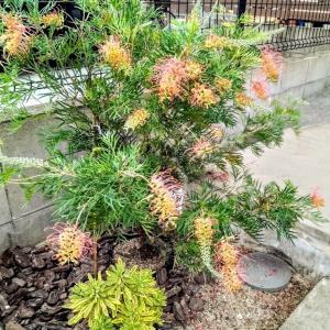 """<庭づくり>夏の花を楽しめる""""グレビレア""""は植えて正解!& 植えて正解な植物たち。"""