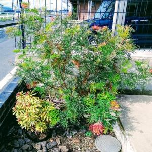 <庭づくり>オーストラリアンプランツ・グレビレア・冬の花?