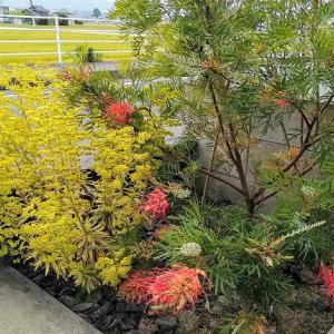 日当たりが良く、乾燥した花壇に失敗しないユーフォルビア!