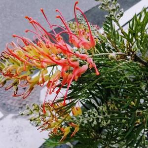 オージープランツ・グレビレア・ロビンゴードンがたくさん咲きました♪