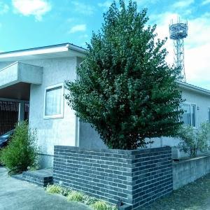 <庭づくり>人気樹木のシンボルツリーのカツラの木の注意点・4年目の様子。