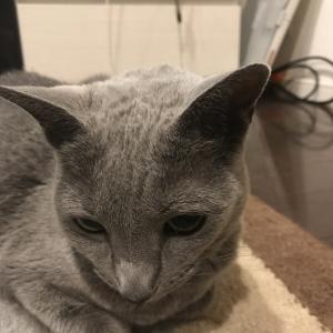 キュンキュンしてしまう猫のしぐさ(ロシアンブルー編)