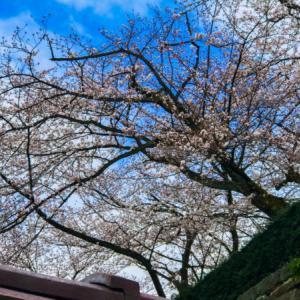 2020年「福井城跡の桜」を見たきた
