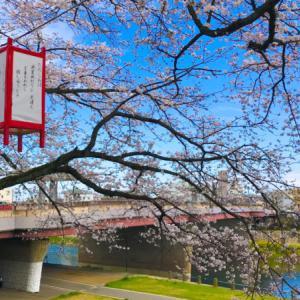 2020年「足羽川桜並木」のご紹介