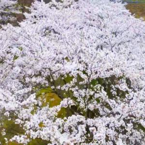 【SADA VLOG】2020年の桜(Mavic mini 撮影)