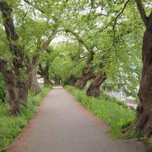 【SADA VLOG】2020年5月_足羽川の桜並木をお散歩