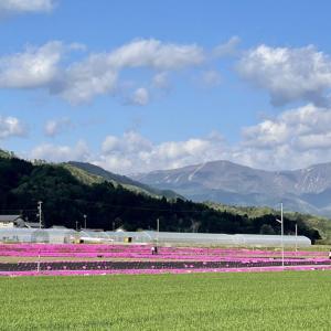 (2021年)福井県大野市乾側地区の「シバザクラ」