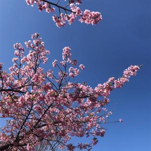 桜×青空 多くの人々に桜咲け。