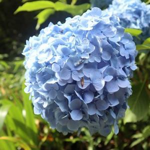 紫陽花ハイキング【梅雨の楽しみ】