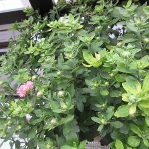 ガーデンマムに蕾が‼猛暑が続きましたが、今年は咲くかな♪
