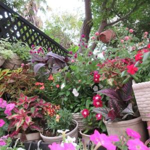 狭い庭を入れ替え、花台作り♪サフィニアとペチュニア