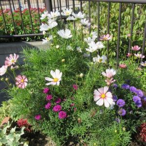 秋の寄せ植えコスモスと八重咲き宿根アスターが美しい
