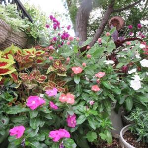 日々草の種の採り方♪秋のガーデニング!温度が下がり、苗の移動♪