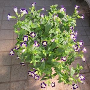 トレニアは切り戻しと花がら摘みで綺麗!コリウスは根が出る