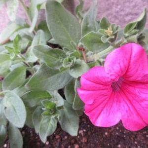 サフィニアが咲きだした♪風蘭にも蕾が!今年の開花はおかしい