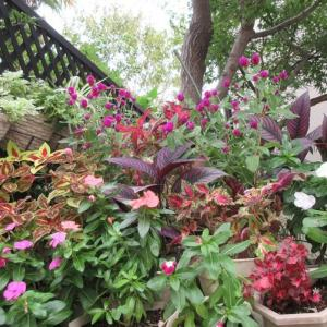 狭い庭の見せるお花に戻す!熱帯低気圧と呼ばれる台風!