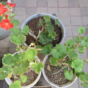 傷んだゼラニウムの剪定と挿し木!多肉植物の寄せ植え作り