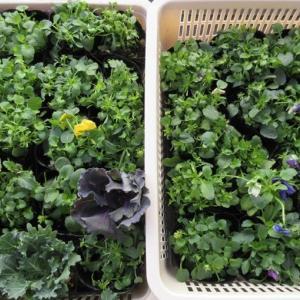 北海道からビオラと葉ボタンが♪ビオラをいっぱいにする育て方