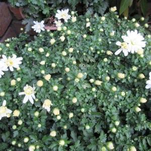 ガーデンマムとビオラが咲いた!小さな幸せで胸キュンキュン!