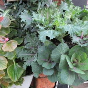 葉ボタンの寄せ植えハンギングと葉ボタンの寄せ植え作り♪
