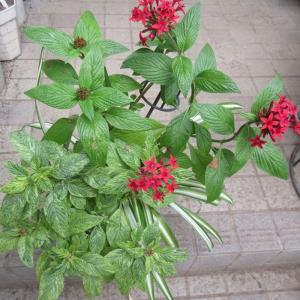 夏の花達は窓辺に移動‼4日間でもルテイン効果が凄い!
