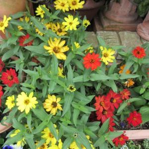 ジニアプロフュージョンの色あせ!プリムラ花壇の準備
