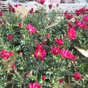オステオスペルマムとマーガレットを花いっぱいにするコツ!
