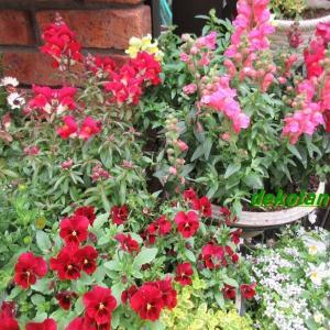 狭い庭を金魚草がいっぱい!お花の入れ替えに忙しい!