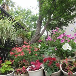 夏花壇のカラーリーフを増やす♪インパチェンスの夏の咲き方!