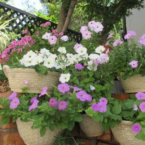 ペチュニアは花が大量に咲くので液体肥料を♪