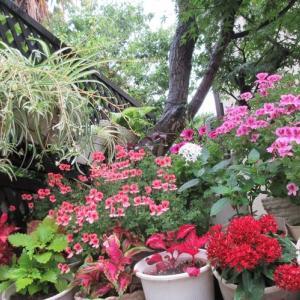 雨が止みカラーリーフが美しい!多肉植物に水を上げて生き返る