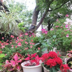雨が続きぺラルゴニウムの花びらが落ち!ハイビスカスに虫が