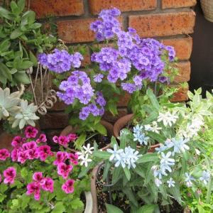 夏花壇に交換中♪涼しそうになったよ!マーガレット剪定